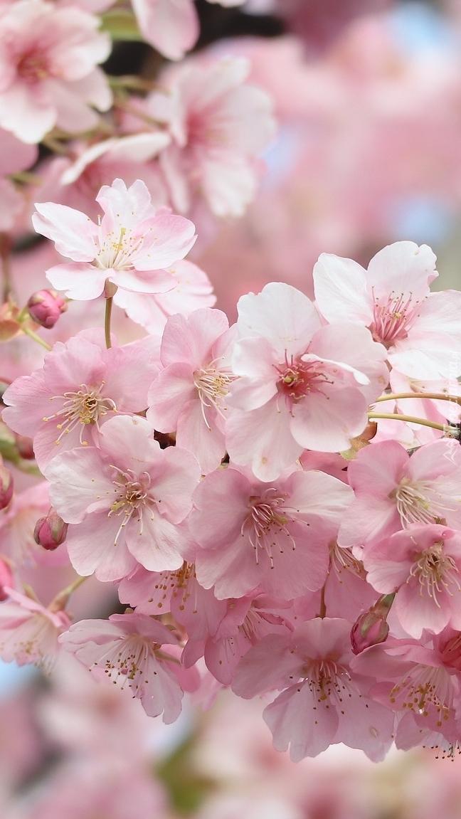Różowe kwiaty wiśni