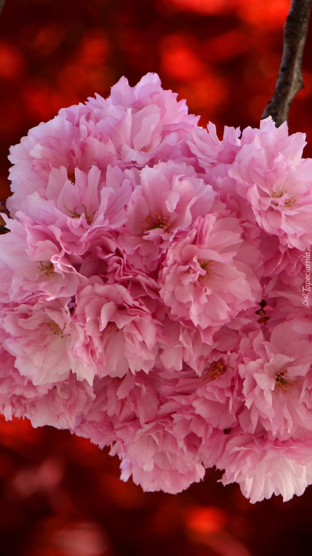 Różowe kwiaty wiśni japońskiej