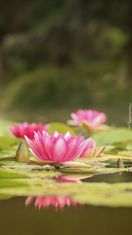 Różowe lilie wodne