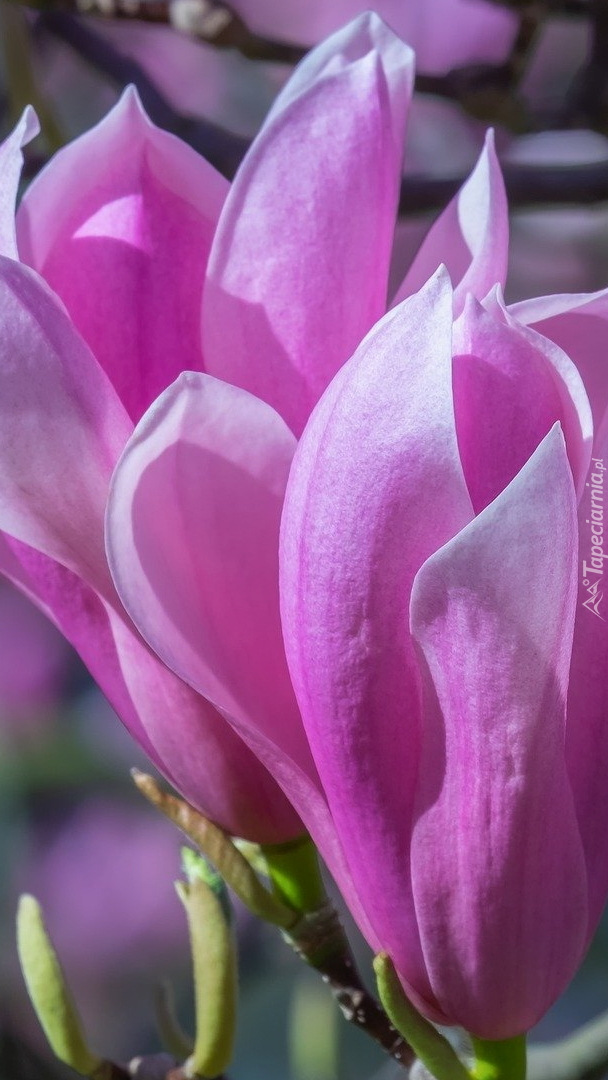 Różowe magnolie