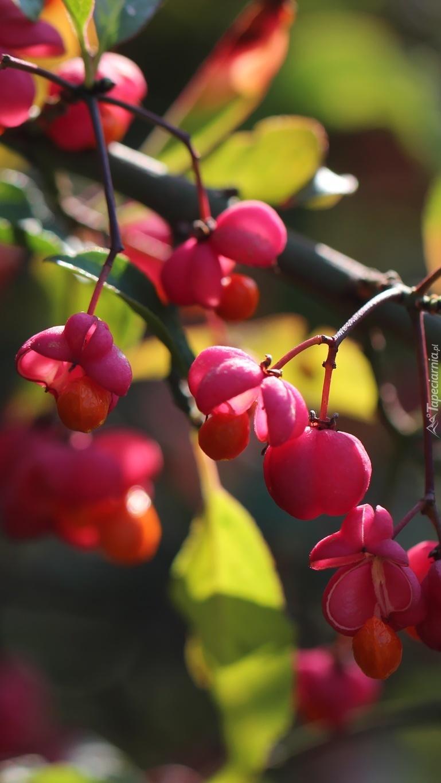 Różowe owoce trzmieliny