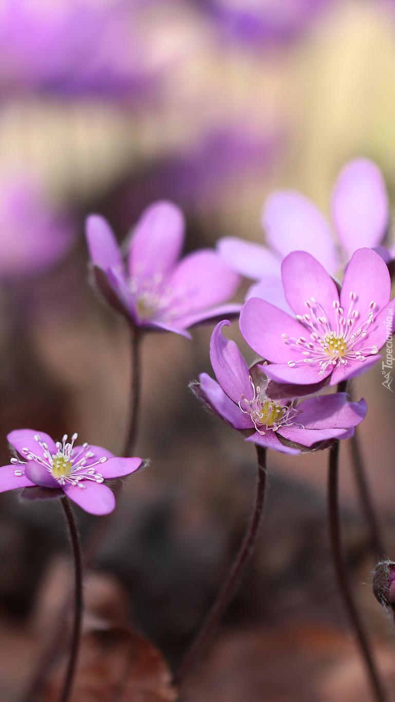 Różowe przylaszczki pospolite
