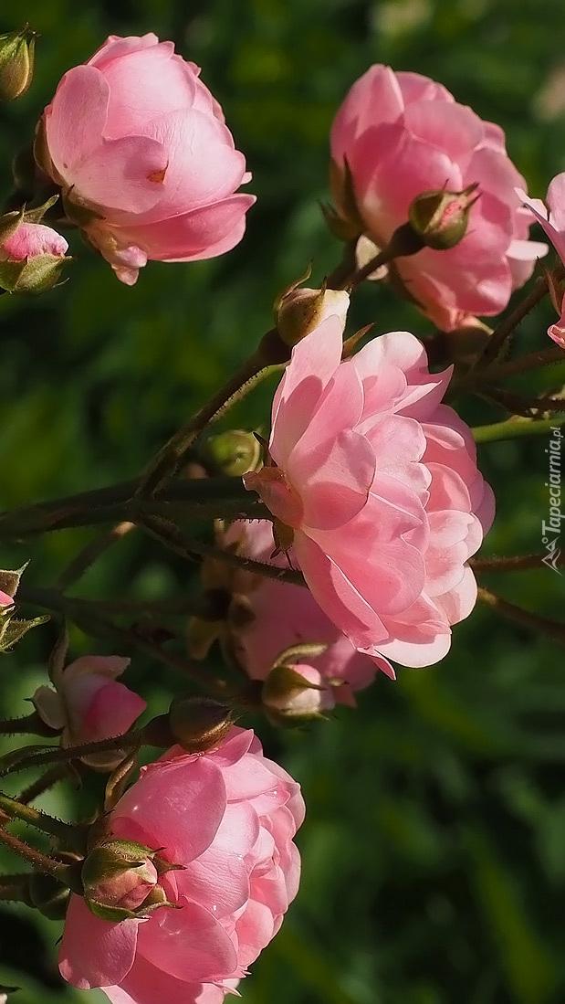 Różowe róże z pąkami