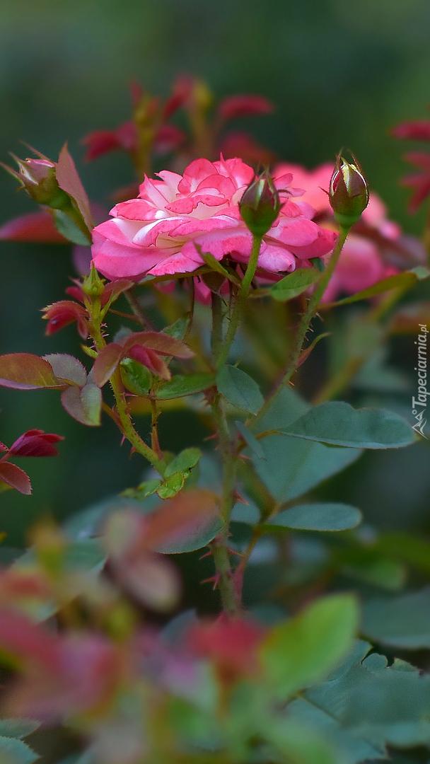 Różowe rozkwitnięte róże