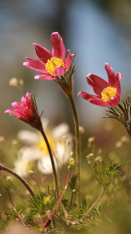 Różowe sasanki
