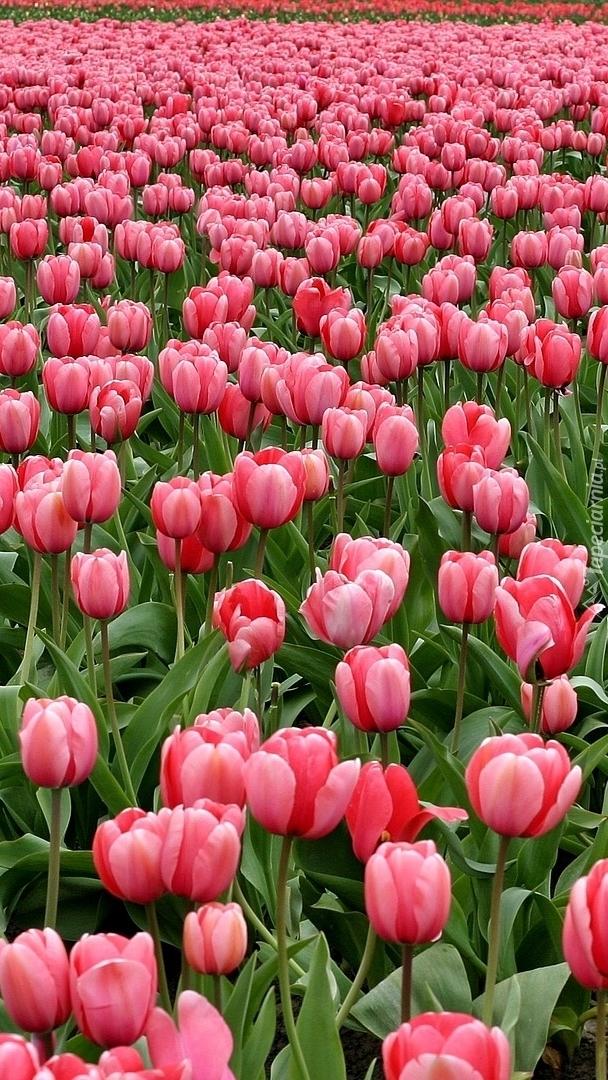 Różowe tulipany na polu