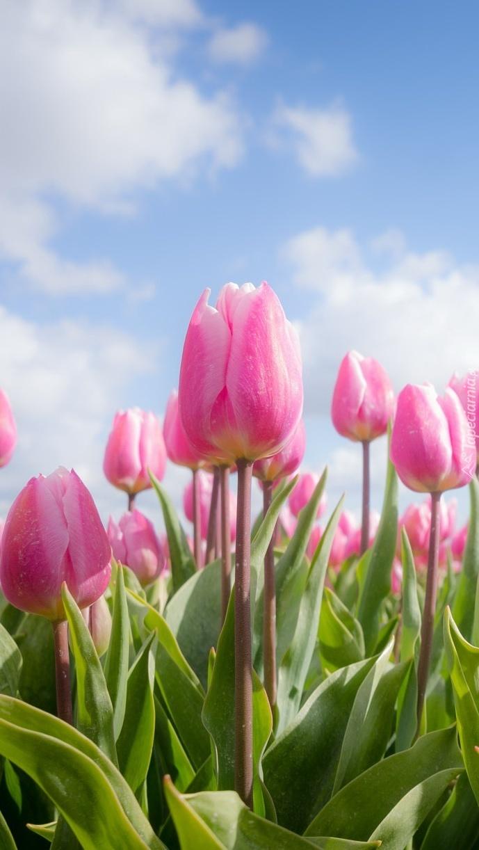 Różowe tulipany na tle nieba