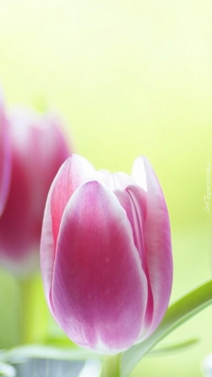 Różowe tulipany w rozmyciu