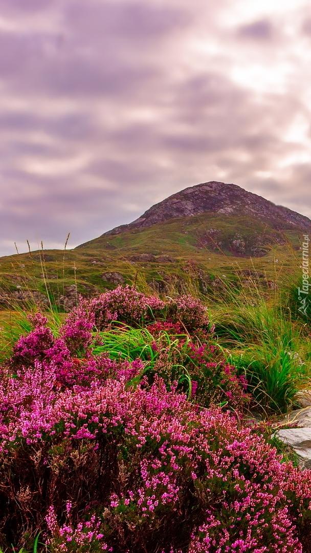 Różowe wrzosy na wzgórzach