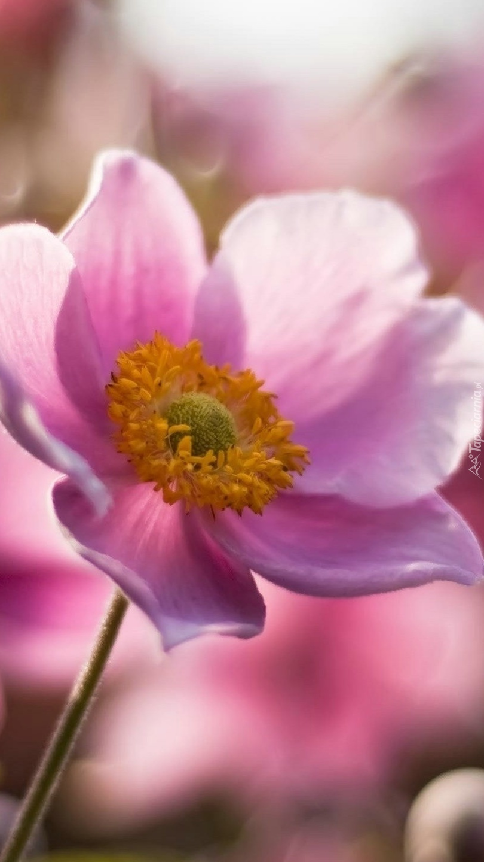 Różowiutki zawilec