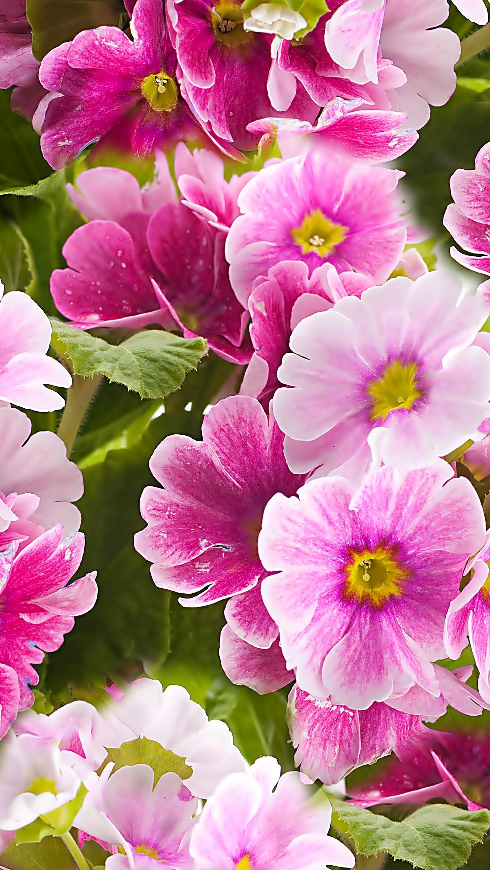 Różowo-białe prymule