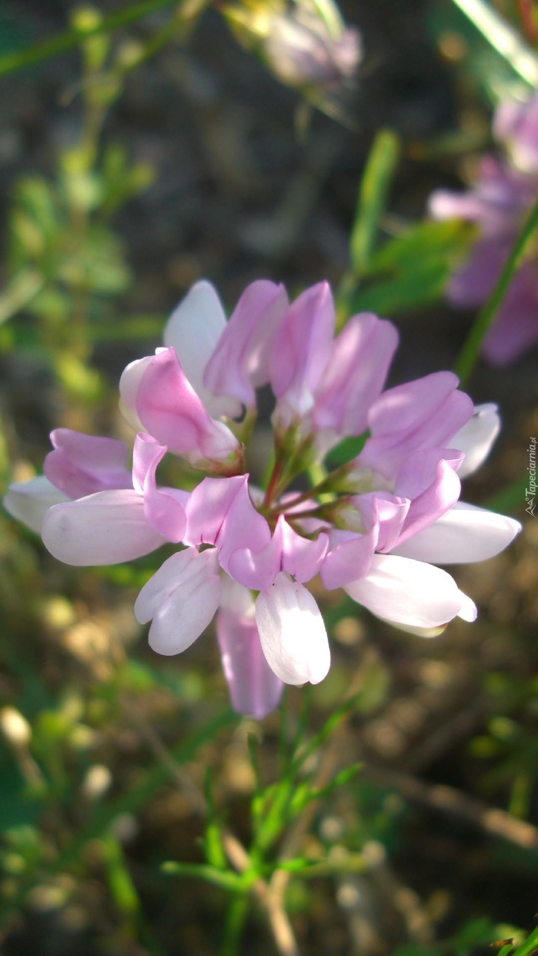 Różowo-biały kwiat cieciorki