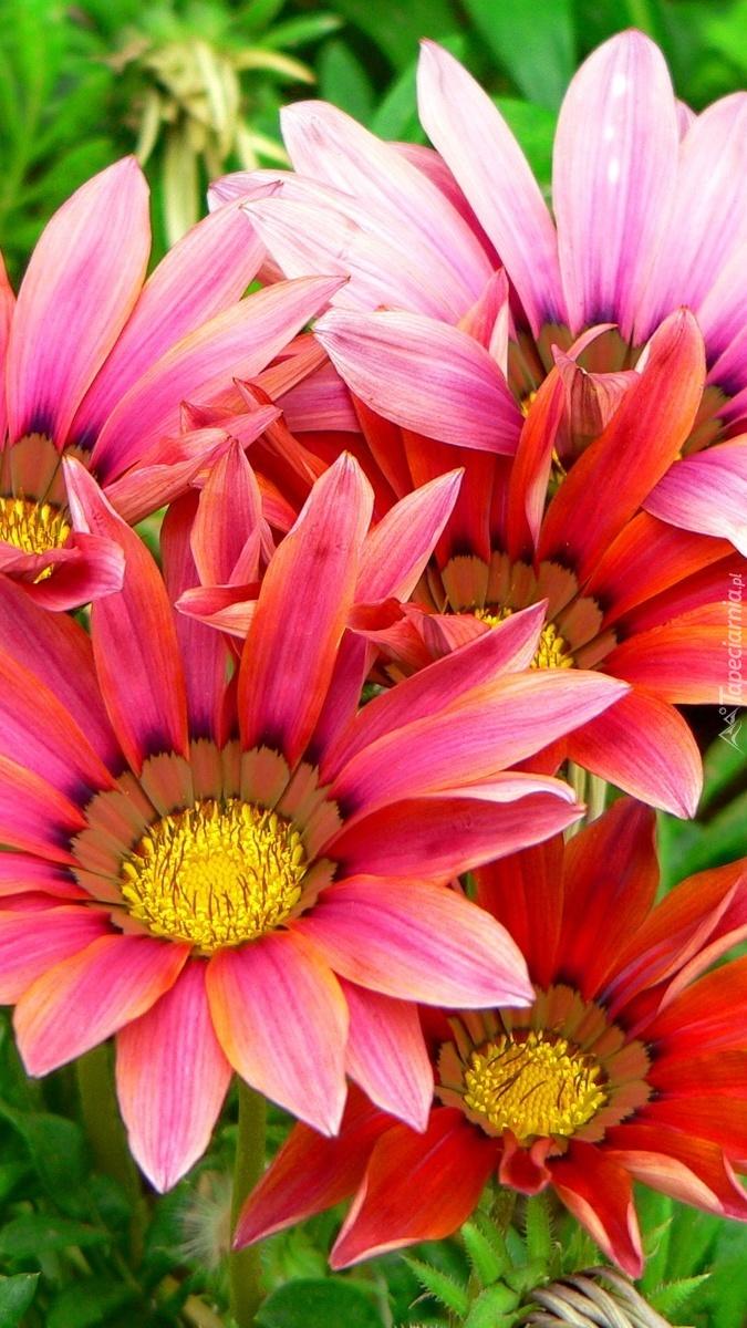 Różowo-czerwone letnie kwiaty