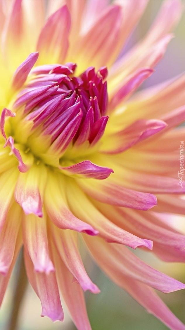 Różowo-żółta dalia