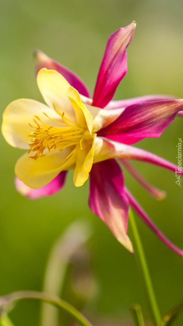 Różowo-żółty orlik na rozmytym tle