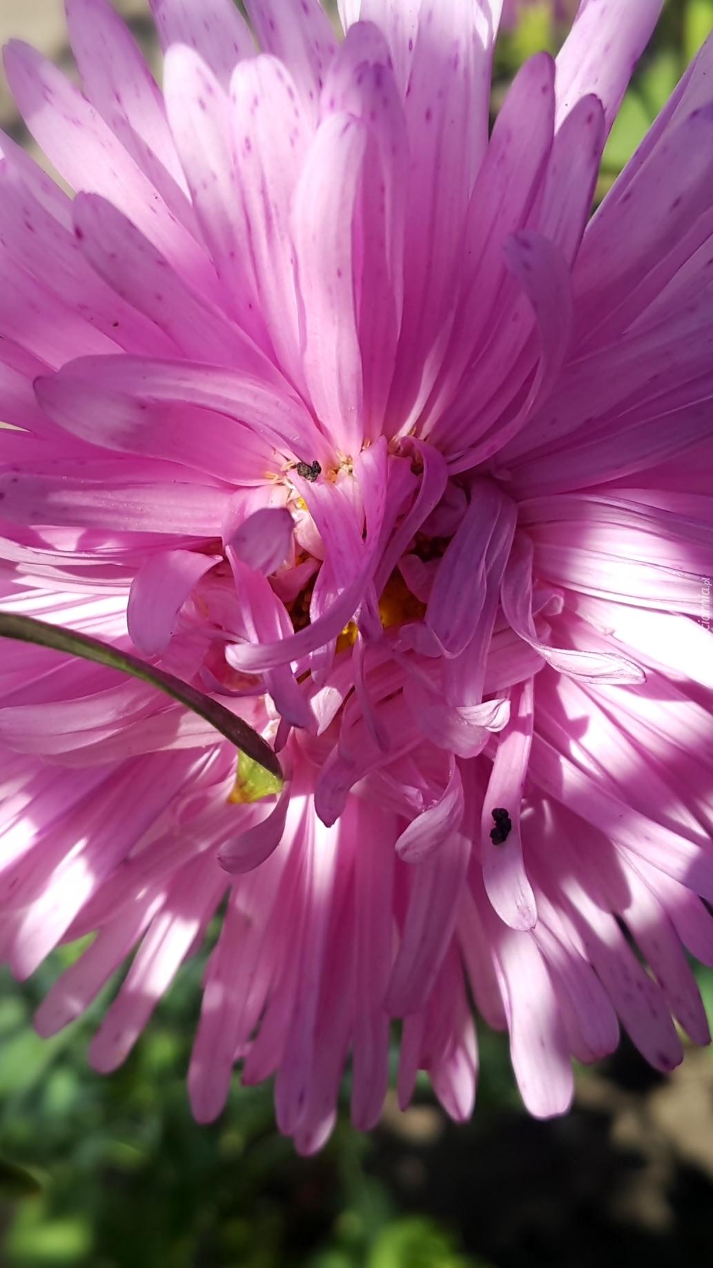 Różowy aster z bliska