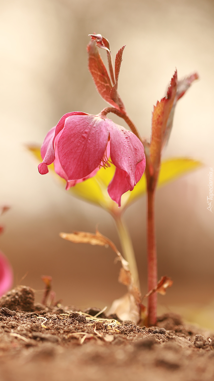 Różowy ciemiernik