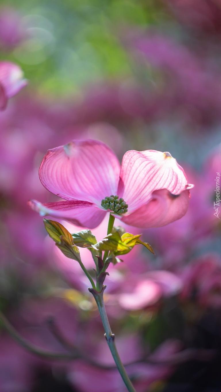 Różowy dereń w zbliżeniu