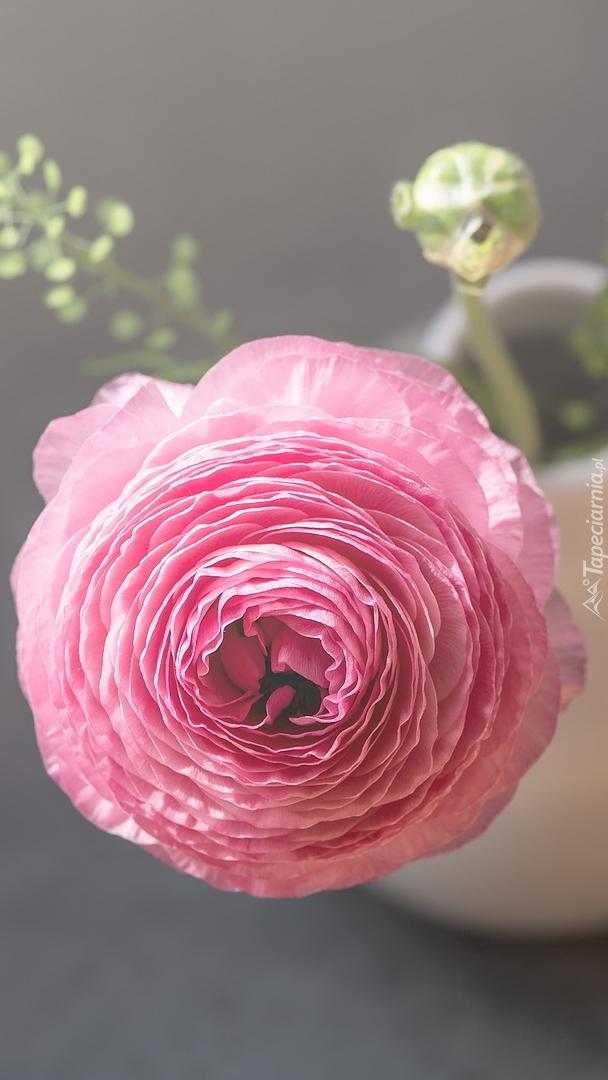 Różowy jaskier