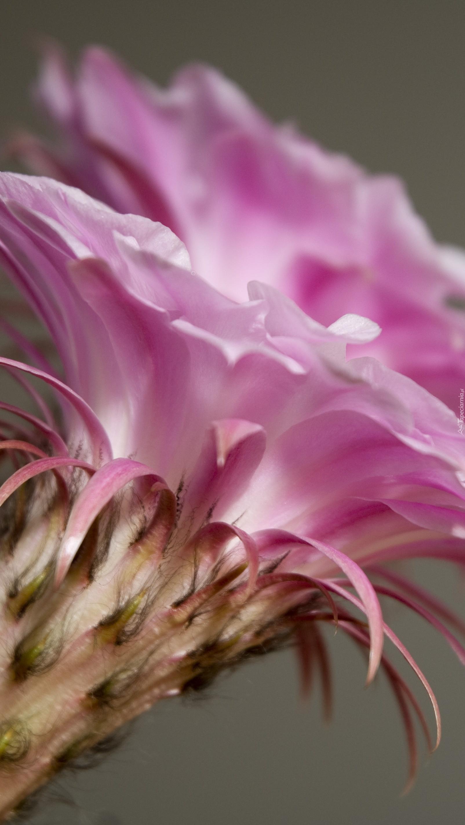 Różowy kielich