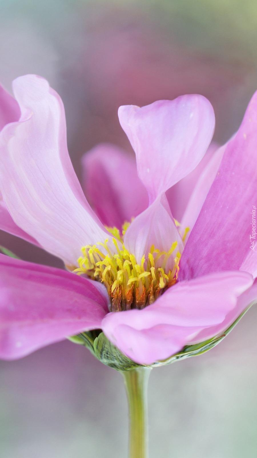 Różowy kwiat kosmei