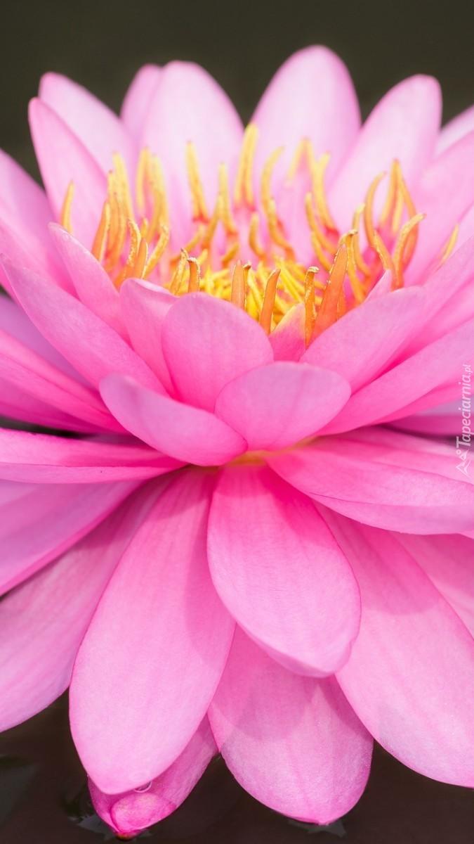 Różowy kwiat lilii wodnej w zbliżeniu