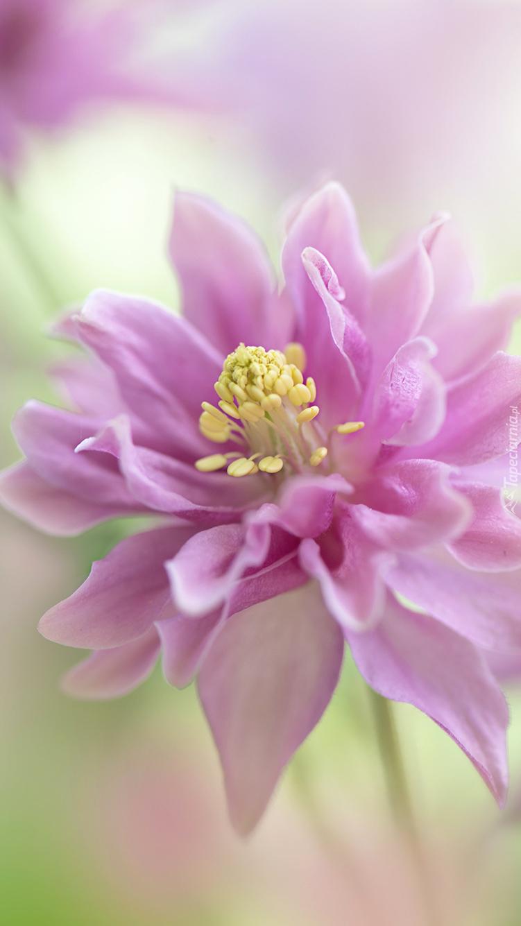 Różowy kwiat z pręcikami
