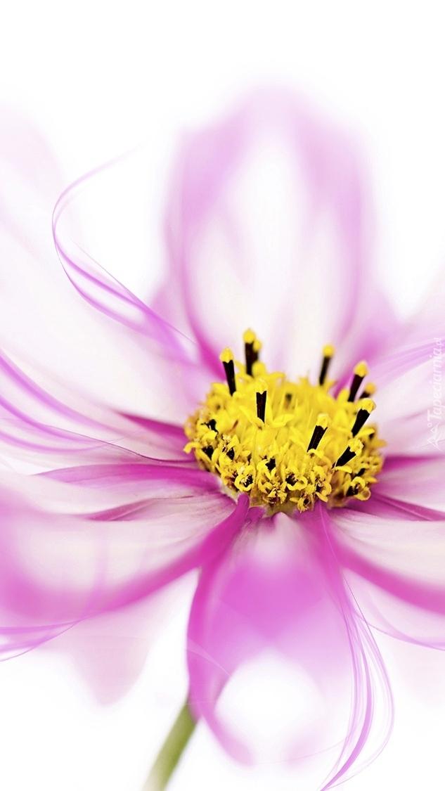 Różowy kwiat z żółtymi pręcikami