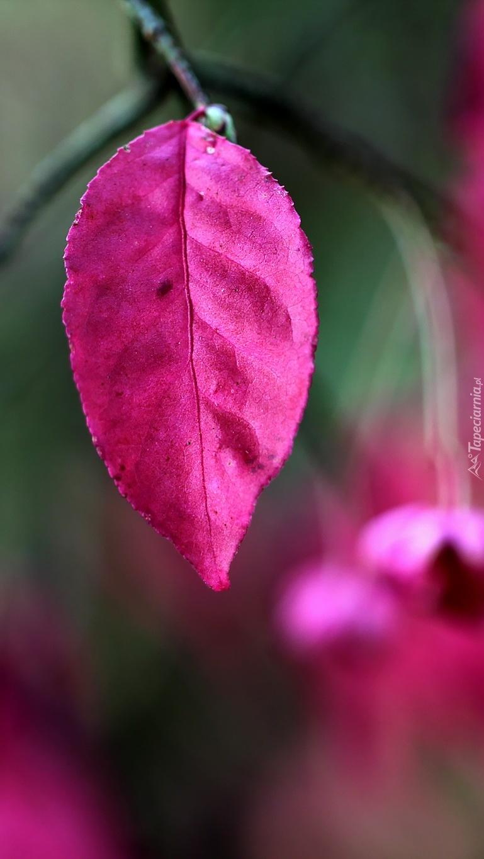 Różowy liść trzmieliny