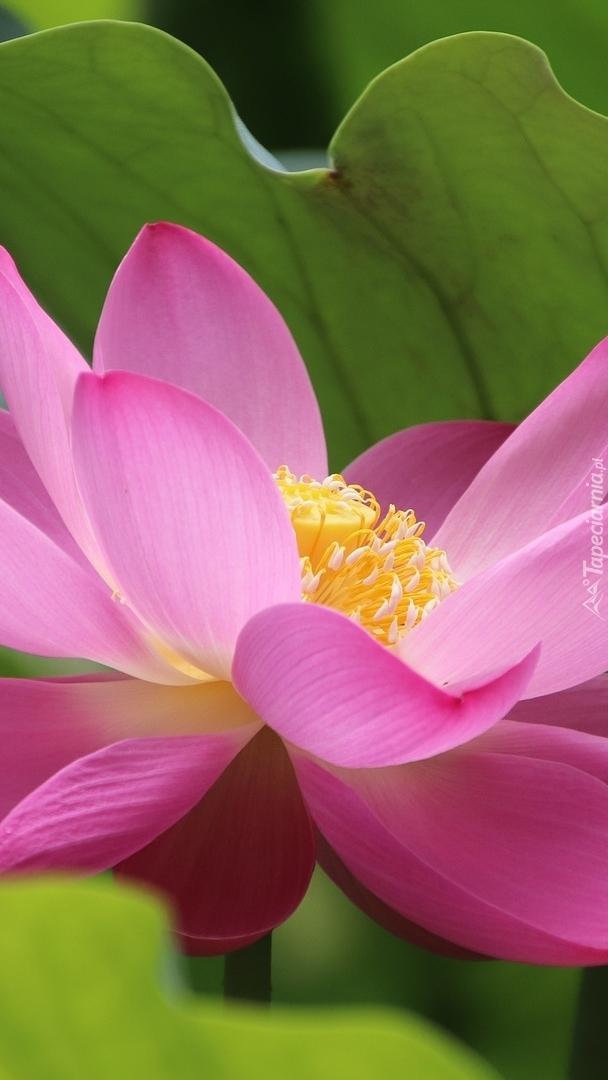 Różowy lotos
