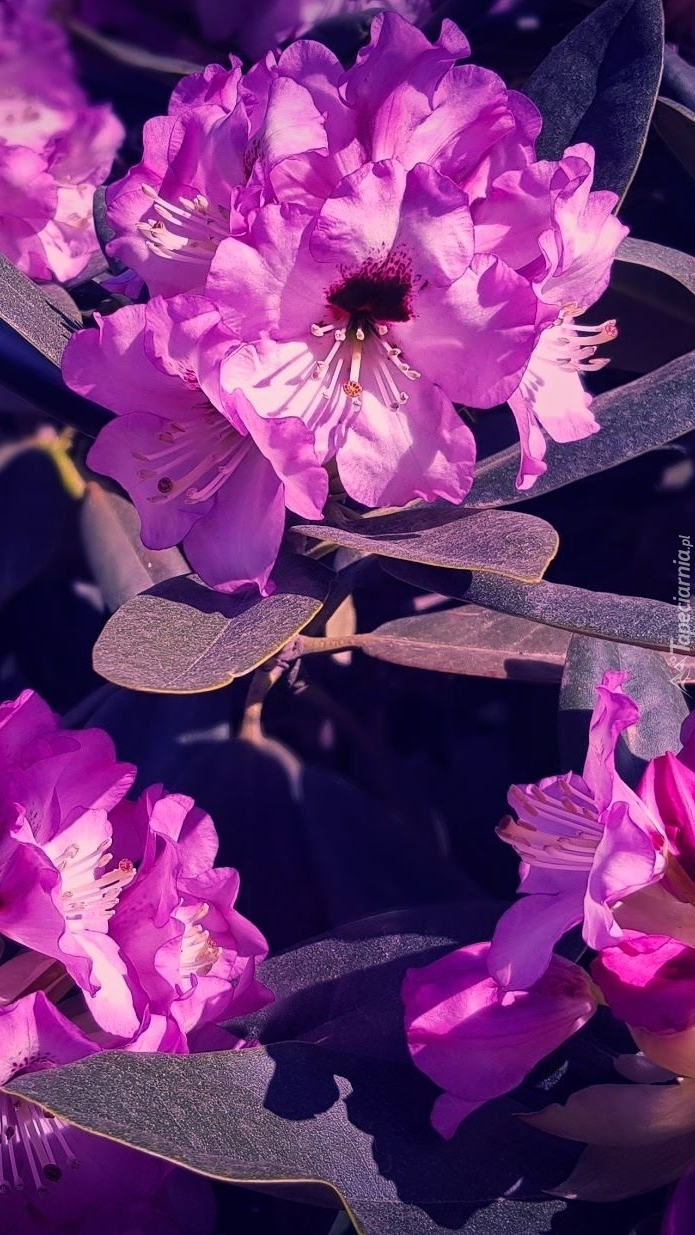 Różowy rododendron