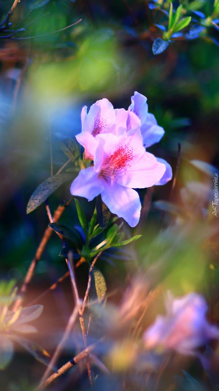 Różowy różanecznik w świetle