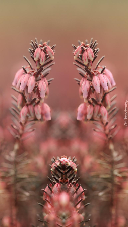 Różowy wrzosiec