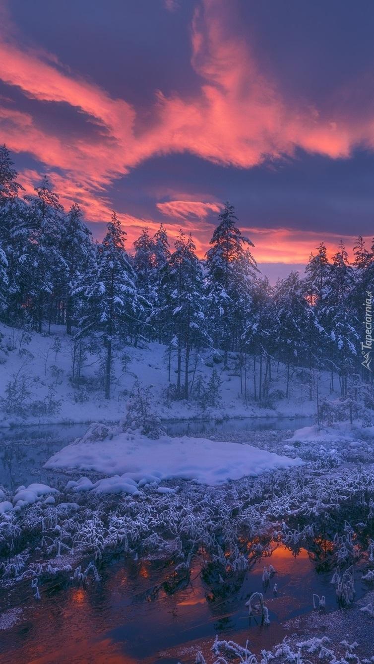 Różowy wschód słońca nad ośnieżonym lasem