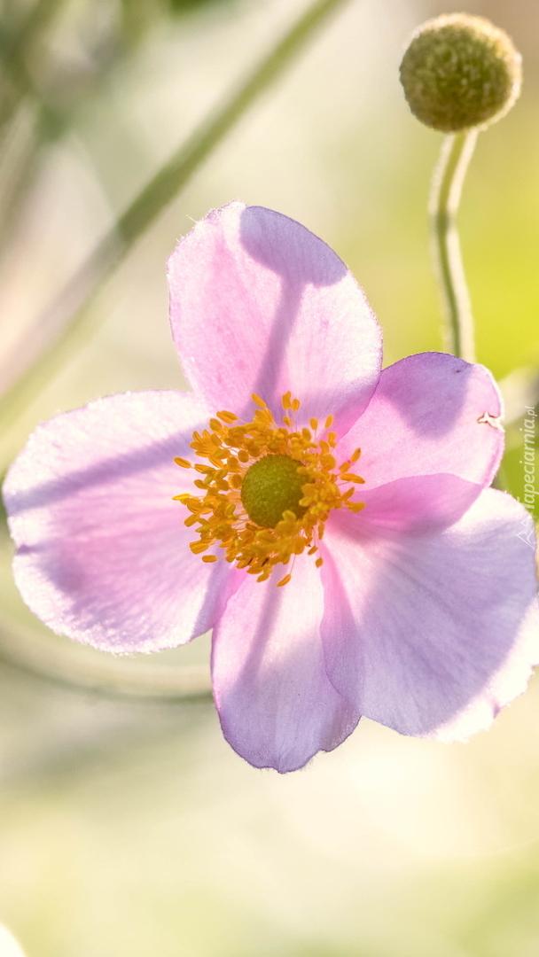 Różowy zawilec