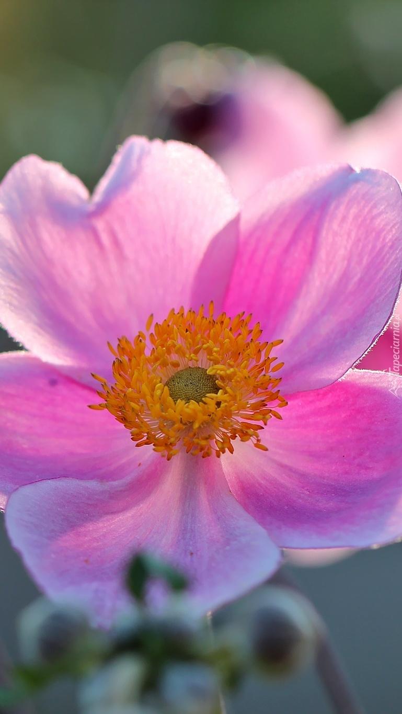 Różowy zawilec japoński