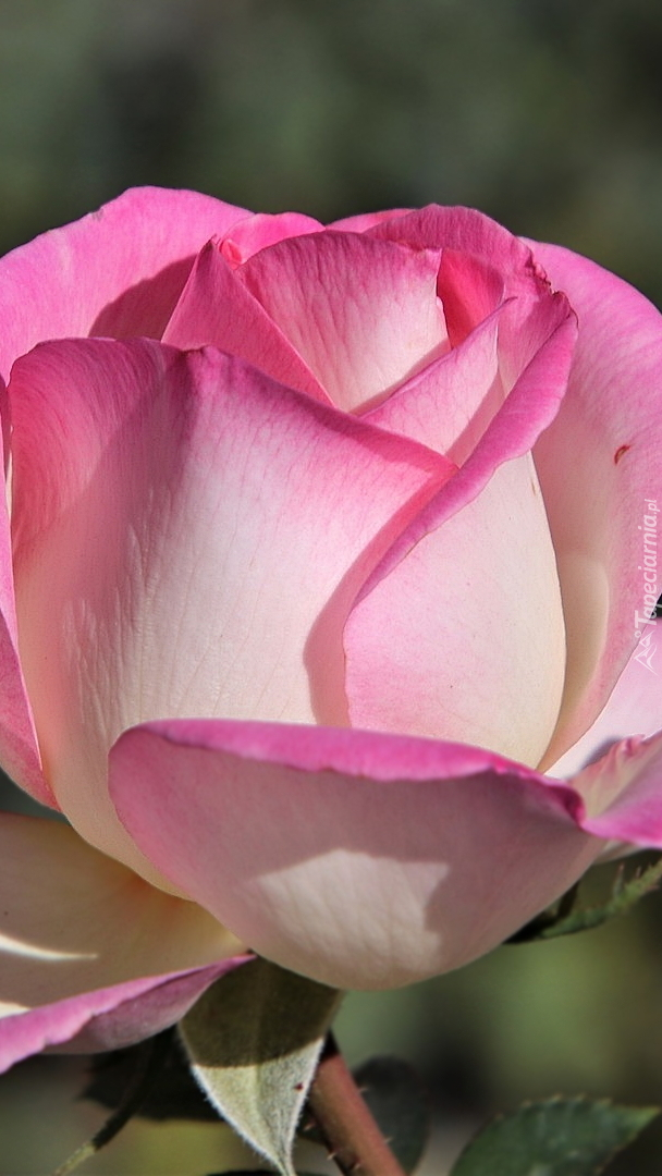 Rozświetlona róża