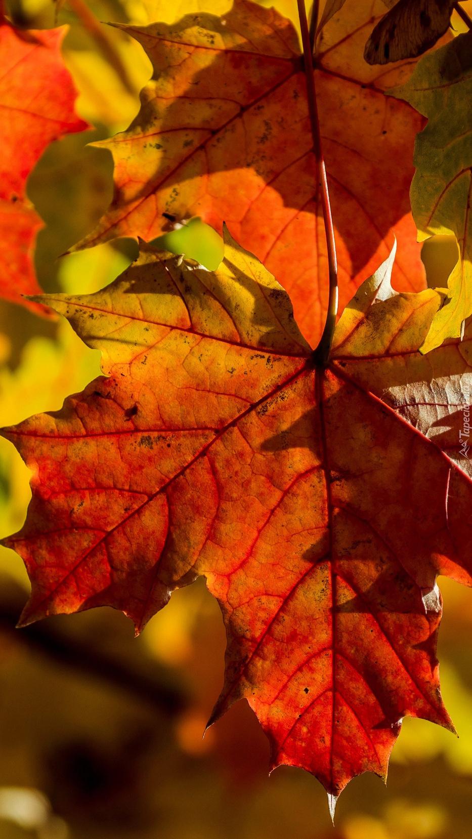 Rozświetlone jesienne liście klonu