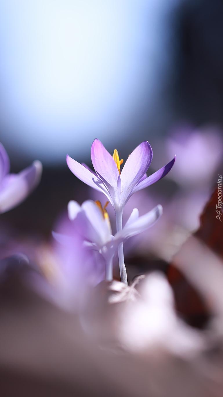 Rozświetlone liliowe krokusy