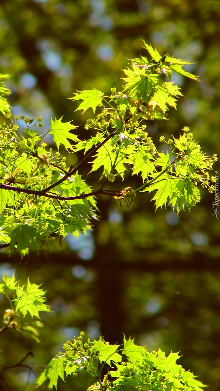 Rozświetlone młode liście klonu