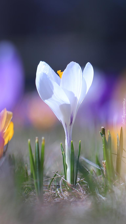 Rozświetlony biały krokus