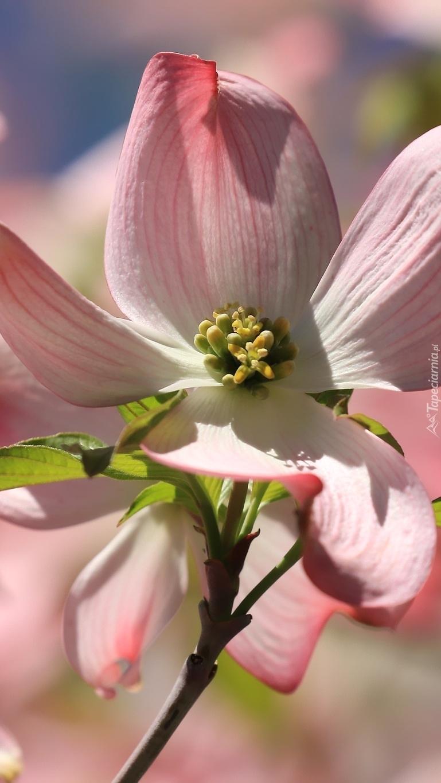 Rozświetlony kwiat derenia