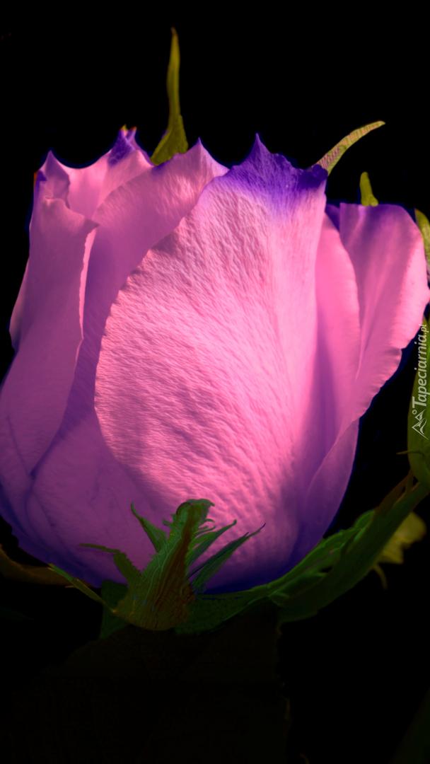 Rozświetlony pąk różowej róży