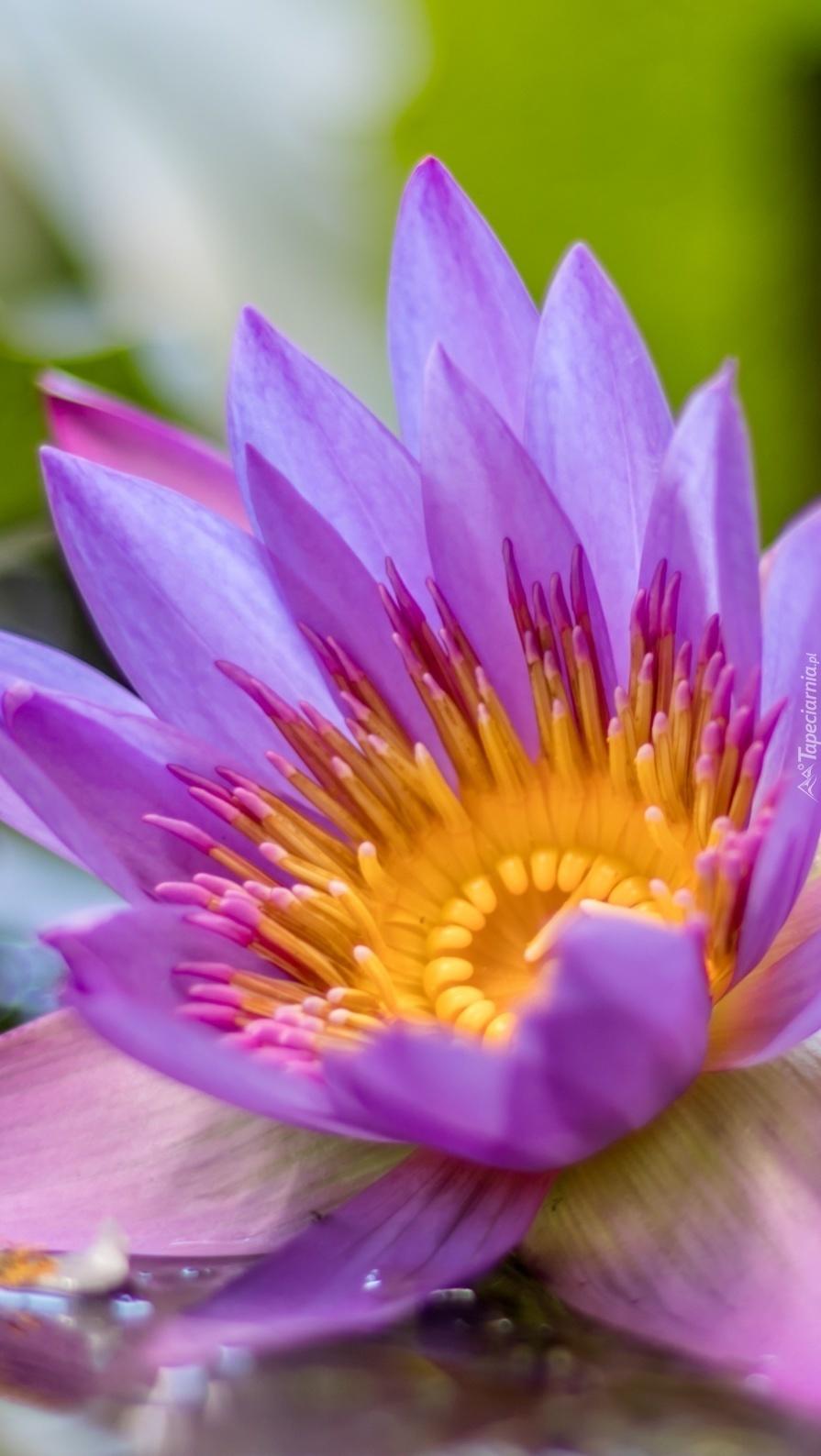 Rozwinięta lilia wodna