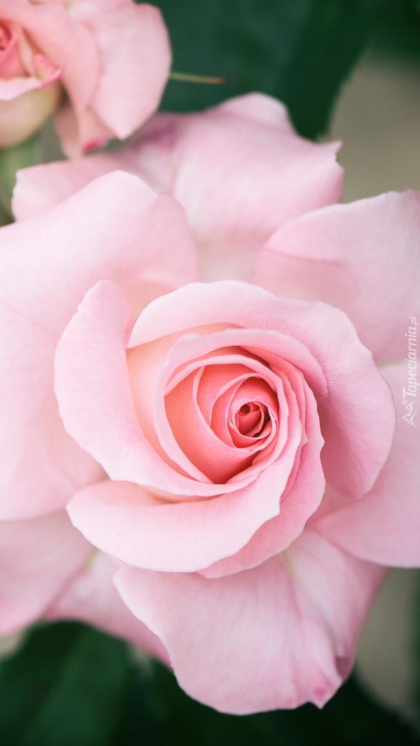 Rozwinięta różowa róża