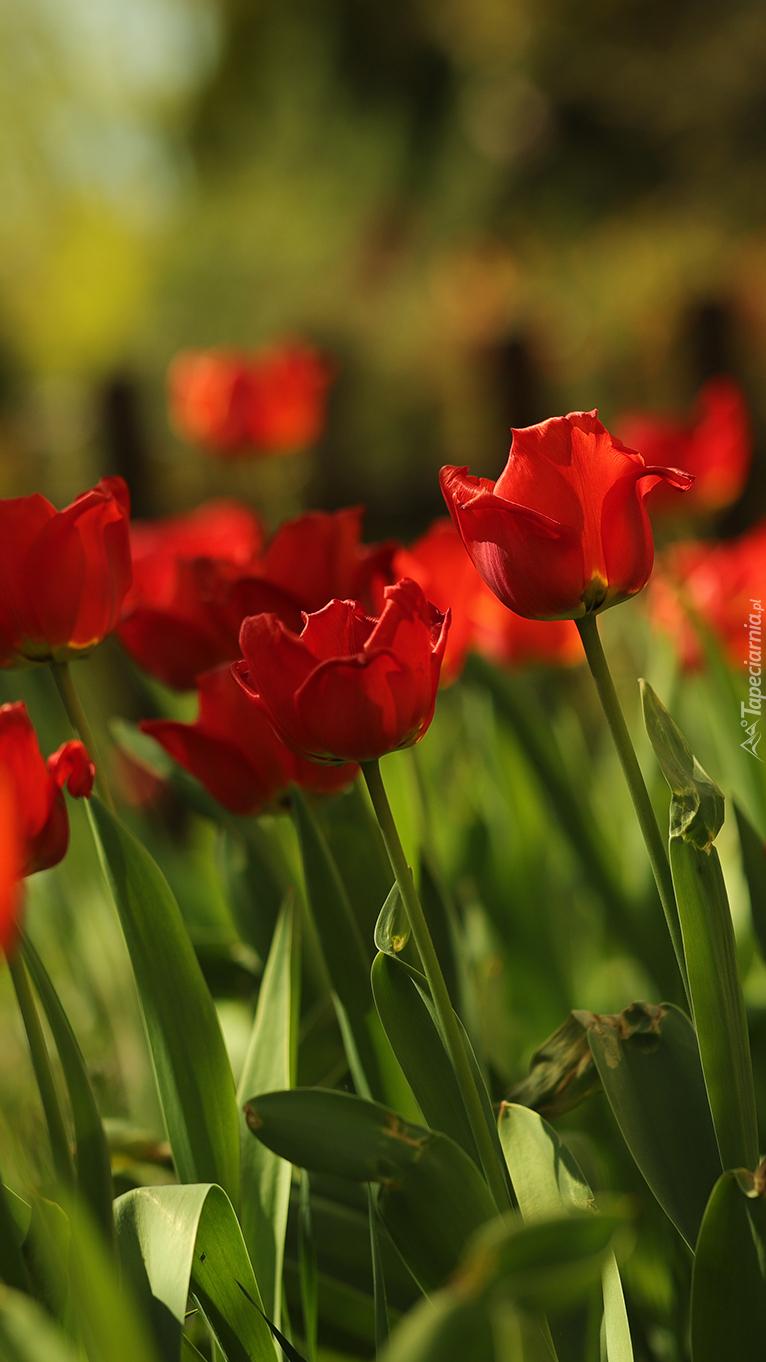 Rozwinięte czerwone tulipany
