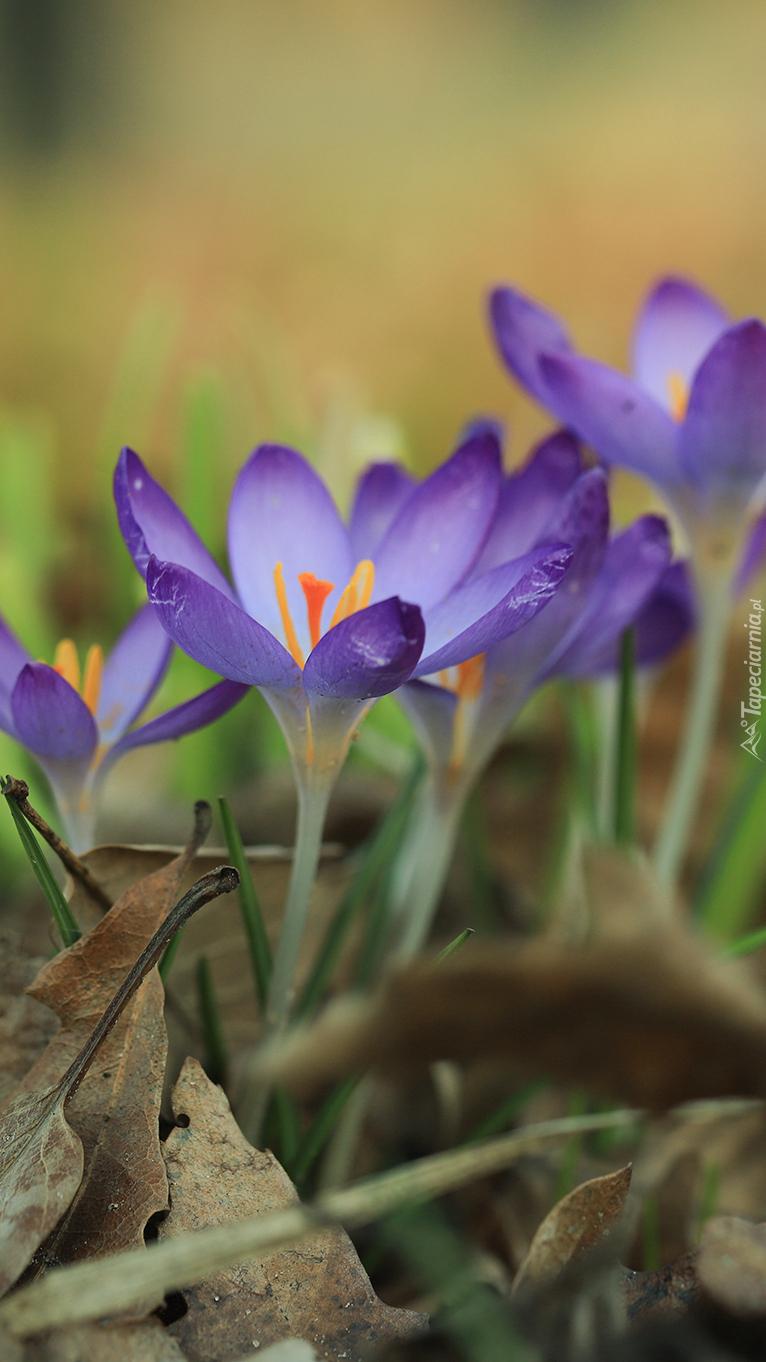 Rozwinięte fioletowe krokusy