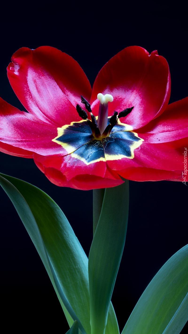 Rozwinięty czerwony tulipan