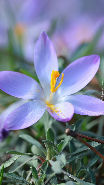 Rozwinięty fioletowy krokus