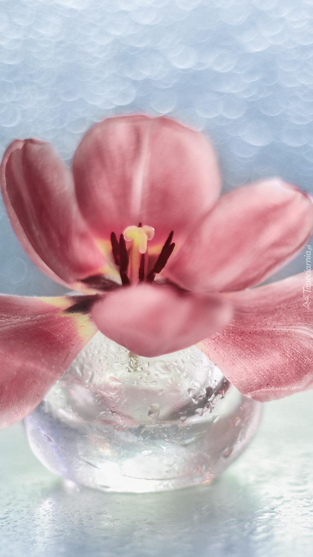 Rozwinięty tulipan w wazoniku